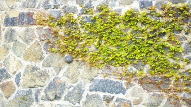 Lierre sur les murs du château de Prague